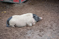 Lazy black head pig Stock Image
