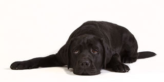 Lazy black labrador. Tired black labrador isolated on white Stock Images