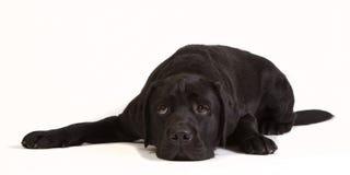 Lazy black labrador Stock Images