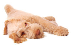 Lazy bones. Spinone italiano puppy,relaxed and chilling out Stock Images