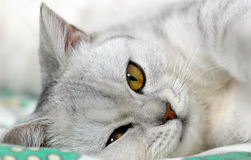 Lazy british shorthair  cat Stock Image