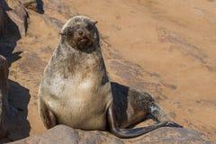 Lazy brown fur seal, Cape Cross, Namibia stock photos