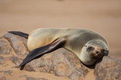 Lazy brown fur seal Arctocephalus pusillus staring at camera Royalty Free Stock Images