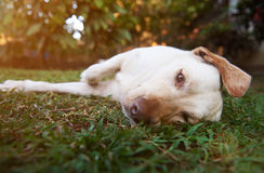 Lazy brown labrador dog royalty free stock photography