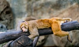 Brown monkey lying on branch. Lazy brown monkey lying on branch Royalty Free Stock Images
