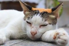 Lazy calico cat Stock Photography