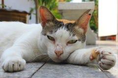 Lazy calico cat Royalty Free Stock Image