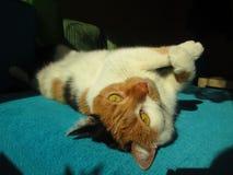 Lazy calico cat. Calico cat lying on her back on sofa Stock Photos