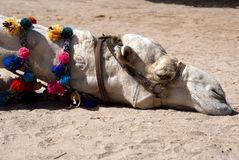 Lazy camel. A nice shot of a lazy or tired camel portrait Royalty Free Stock Photo