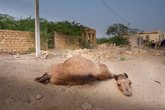 The lazy camel. The village of Khuri is nowadays mainly known for touristic camel excursions over the near sand dunes in the Khar desert near the indian border Stock Photography