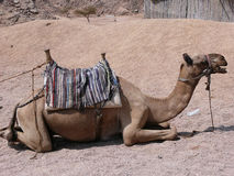 Lazy camel Royalty Free Stock Images
