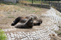 Lazy Camel in the Zoo. A camel lying on the ground in the zoo. Photo taken in Sofia Zoo, Bulgaria Stock Image