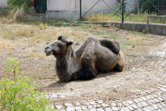 Lazy Camel in the Zoo. A camel sitting on the ground in the zoo. Photo taken in Sofia Zoo, Bulgaria Stock Photography