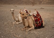 Lazy camels Royalty Free Stock Image