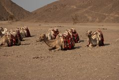 Lazy camels in the desert Royalty Free Stock Photo