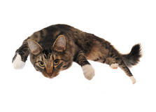 Lazy Cat. Lazy Maine Coon cat lying down, hanging out Stock Images