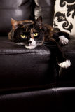 Lazy cat. Calico cat lounging on a leather sofa Stock Images