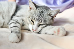 Lazy cat. Lazy gray cat dozing on the sofa Royalty Free Stock Photos