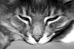 Lazy cat. A close up of a lazy kitty taking a nap royalty free stock images
