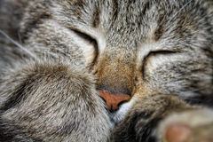 Lazy cat Royalty Free Stock Image
