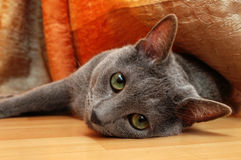 Lazy cat. Russian Blue lazy young cat Royalty Free Stock Image