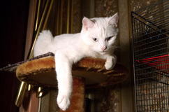 Lazy cat. White cat laying at the top of his home Royalty Free Stock Image