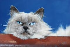 Lazy Cat Royalty Free Stock Image