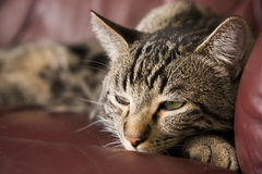 Lazy Cat. A lazy, tabby cat half asleep on a burgundy leather chair.  Shallow DOF Royalty Free Stock Image