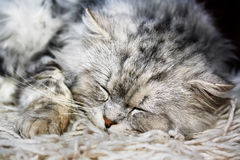Lazy cat 2. Beautiful adorable lazy white cat sleeping Stock Images