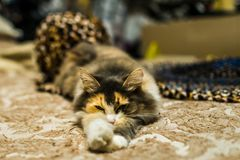 Lazy cat on the bed stock photography