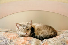 Lazy cat in the bedroom. Lazy cat sleeping in the bedroom Royalty Free Stock Photography