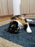Lazy cat. Lazy and chubby calico cat Stock Photo