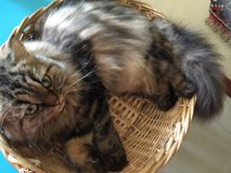 Lazy cat curled up in basket. Lazy cat lying in basket Royalty Free Stock Photos