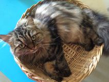 Lazy cat curled up in basket. Lazy cat lying in basket staring Royalty Free Stock Images