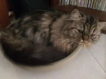Lazy cat curled up in bowl. Lazy cat lying in bowl Stock Photos