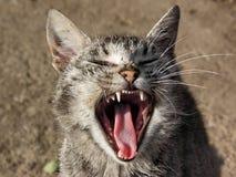 Lazy cat. Lazy domestical cat yawning Royalty Free Stock Image