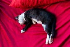Lazy cat on Don Det Stock Images