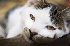 Lazy cat gazing. A cat is sleeping,eyes gazing ahead Stock Image