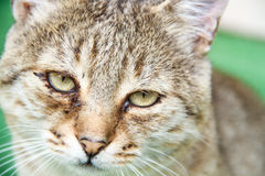 Lazy Cat. A cat on a green background Stock Photography