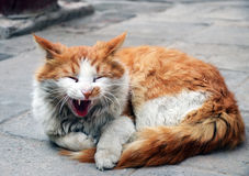 Lazy cat. Lazy hairy orange cat lying in mosque in Xi`an, China Royalty Free Stock Photos