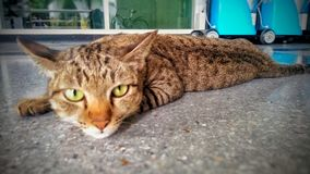 The lazy cat. Stock Images