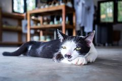 Lazy cat lay down on ground. Looking to camera Royalty Free Stock Photography