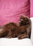 Lazy Cat laying on the couch. British cat laying on the couch royalty free stock image
