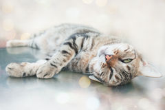 Lazy Cat. Laying on the floor in the sunlight Royalty Free Stock Photos
