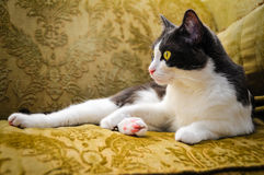 Lazy Cat. A lazy cat lounging around Royalty Free Stock Photos