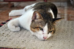 Lazy cat. Lying on the carpet Royalty Free Stock Images