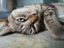 Lazy Cat Lying on. The Carpet Stock Image