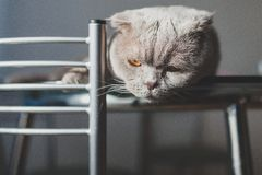 Lazy cat lying on a kitchen table. Cute lazy cat lying on a kitchen table Stock Images