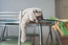 Lazy cat lying on a kitchen table. Cute lazy cat lying on a kitchen table Royalty Free Stock Photos