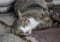 A lazy cat lying on road stock image